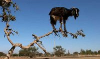 Scrape Goat